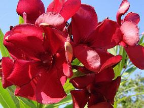 OLEANDER HAUS  Nerium Oleander Gotsis Kassandra