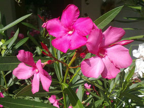 OLEANDER HAUS  Nerium Oleander Italia