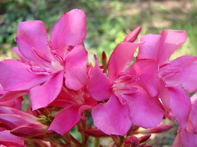 OLEANDER HAUS  Nerium Oleander Gotsis Daidalos