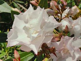 OLEANDER HAUS  Nerium Oleander Gotsis Iphigenie