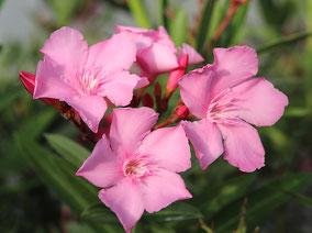 OLEANDER HAUS  Nerium Oleander   Pleasants Postoffice Pink