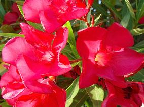 OLEANDER HAUS  Nerium Oleander Gotsis Iokaste