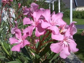OLEANDER HAUS  Nerium Oleander Taurus