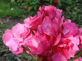OLEANDER HAUS  Nerium Oleander Gotsis Agamemnon