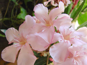 OLEANDER HAUS  Nerium Oleander Gotsis Chryses