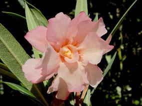 OLEANDER HAUS  Nerium Oleander Gotsis Psyche