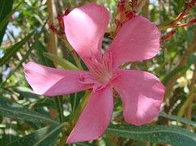 OLEANDER HAUS  Nerium Oleander Gotsis Lykomedes