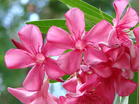 OLEANDER HAUS  Nerium Oleander Gotsis Jason
