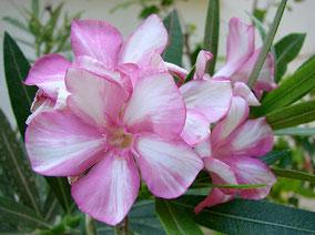OLEANDER HAUS  Nerium Oleander Gotsis Simie