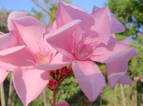 OLEANDER HAUS  Nerium Oleander Gotsis Polydoros