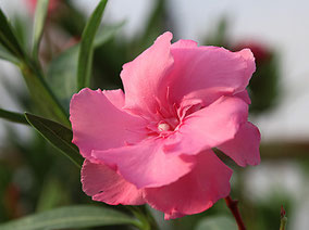 OLEANDER HAUS  OLEANDER COLLECTIONS