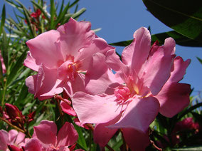 OLEANDER HAUS  Nerium Oleander Gotsis Eros
