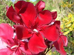 OLEANDER HAUS  Nerium Oleander Gotsis Tyche