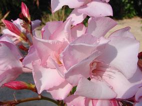 OLEANDER HAUS  Nerium Oleander Gotsis Sphinx
