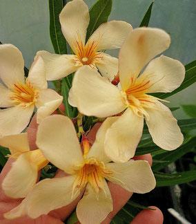 OLEANDER HAUS  Nerium Oleander   Mézes-krémes