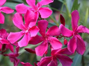 OLEANDER HAUS  Nerium Oleander Gotsis Aphrodite