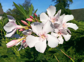 OLEANDER HAUS  Nerium Oleander Alsace
