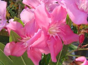 OLEANDER HAUS  Nerium Oleander Gotsis Kerberos