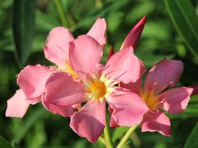 OLEANDER HAUS  Nerium Oleander   Hawai'i