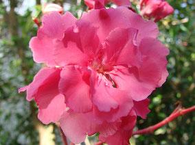 OLEANDER HAUS  Nerium Oleander Gotsis Nephele