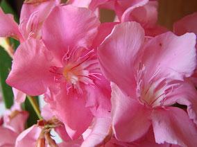 OLEANDER HAUS  Nerium Oleander Gotsis Andromache
