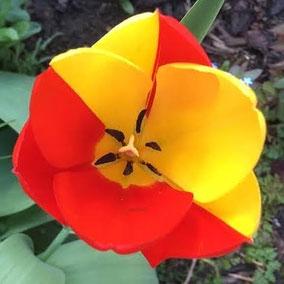 Tulpe , Chimäre, Oleander Haus