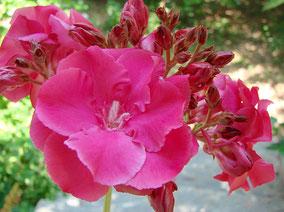 OLEANDER HAUS  Nerium Oleander Gotsis Daphne