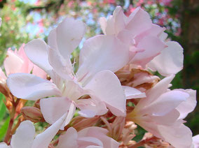 OLEANDER HAUS  Nerium Oleander Gotsis Eurydike