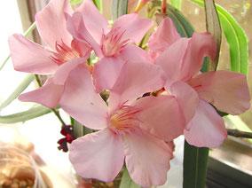 OLEANDER HAUS  Nerium Oleander Gotsis Argyra
