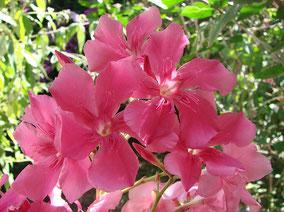 OLEANDER HAUS  Nerium Oleander Gotsis Hermione