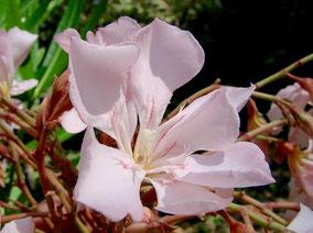 Oleander Gotsis Eurydike