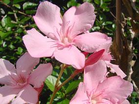 OLEANDER HAUS  Nerium Oleander Gotsis Leda