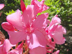 OLEANDER HAUS  Nerium Oleander Gotsis Herakles