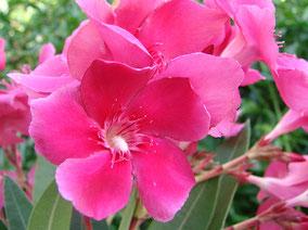 OLEANDER HAUS  Nerium Oleander Gotsis Tantalos