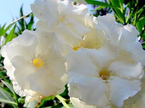 OLEANDER HAUS  Nerium Oleander Gotsis Niobe