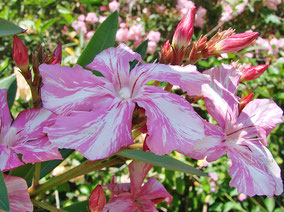 OLEANDER HAUS  Nerium Oleander   Kewpie