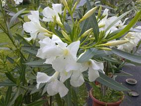OLEANDER HAUS  Nerium Oleander Soeur Agnes
