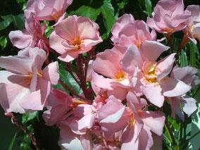 OLEANDER HAUS  Nerium Oleander Rosario