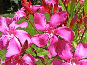 OLEANDER HAUS  Nerium Oleander Margaritha