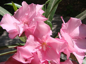OLEANDER HAUS  Nerium Oleander Gotsis Keto