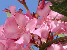 OLEANDER HAUS  Nerium Oleander Gotsis Pan