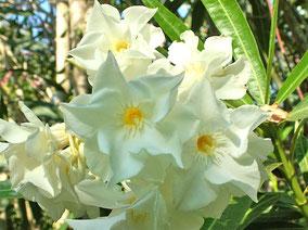 OLEANDER HAUS  Nerium Oleander Pandora