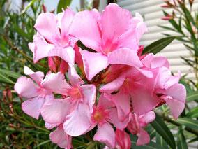 OLEANDER HAUS  Nerium Oleander Hardy Pink