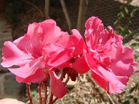 OLEANDER HAUS  Nerium Oleander Gotsis Aigeus