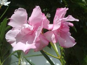 OLEANDER HAUS  Nerium Oleander Louis Pouget