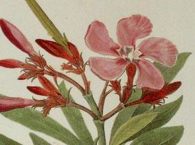 Oleander, historische Zeichnung, Wildoleander