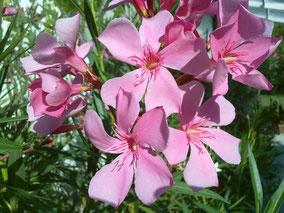 OLEANDER HAUS  Nerium Oleander Belle Helene