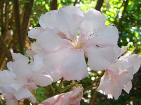 OLEANDER HAUS  Nerium Oleander Gotsis Harmoni