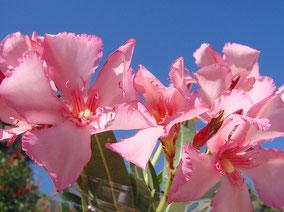 OLEANDER HAUS  Nerium Oleander Gotsis Euryale