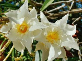 OLEANDER HAUS  Nerium Oleander Gotsis Ismene